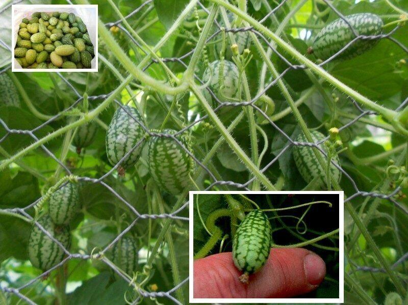 Zwergkürbis exotische Pflanzen Deko für die Wohnung drinnen Zimmerpflanze Samen