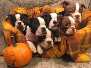 Beautiful PB Boston Terrier Puppies !!