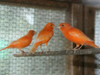 Male Canaries for Sale
