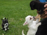 Chihuahua Puppies - Males & Females - Ready to go