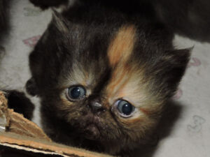 THREE GORGEOUS PURE  PERSIAN KITTENS FOR SALE