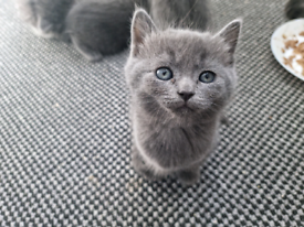 Pure Russian blue kittens