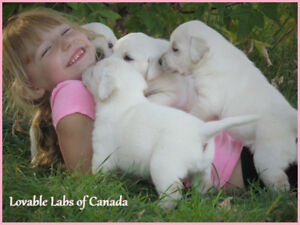 BEAUTIFUL INTELLIGENT CKC REGISTERED WHITE LAB PUPPIES