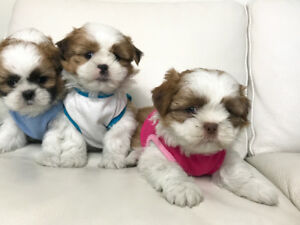 Shih Tzu Puppies - M/F's ** READY TO GO NOW **