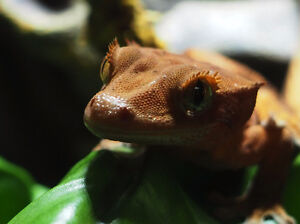 Red Flame Eyelash Crested Gecko with terrarium etc.