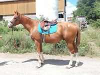 Fancy flashy gelding