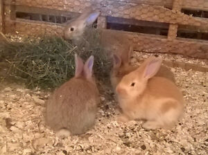 Flemish Giant baby bunnies