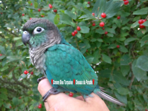 ❤️⭐❤️ Beautiful New baby Turquoise Conure ❤️⭐❤️
