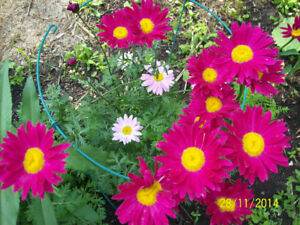 Painted Daisys will make you smile!