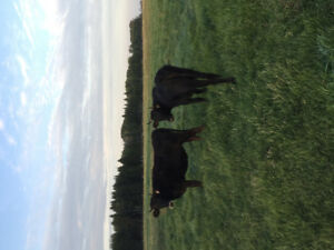 Heritage Canadienne Bred Heifers and Cows for Milk