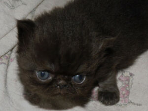 TWO GORGEOUS PURE  PERSIAN KITTENS FOR SALE
