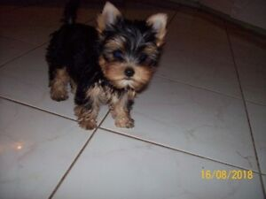 GORGEOUS FEMALES YORKIE PUPPIES -ALSO 2 ADULTS