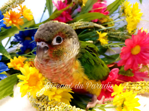 Beautiful tame baby conure