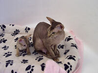 Hairless Peterbald Cat