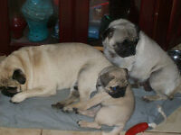 PUG PUPPIES HAVE ARRIVED   lic 0261  SOLD OUT THANK YOU