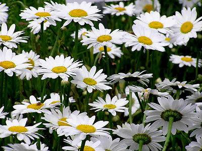 500+ BULK PERENNIAL WILD FLOWER SEEDS - ...
