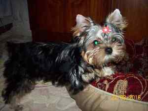 BEAUTIFUL FEMALE AND MALE  YORKIE