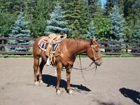 4 Yr old Started Head Horse Papered QH Gelding