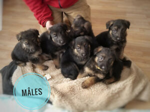 Chiot Berger Allemand pure