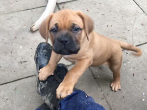 Price reduced - French Mastiff x puppies READY for forever home!