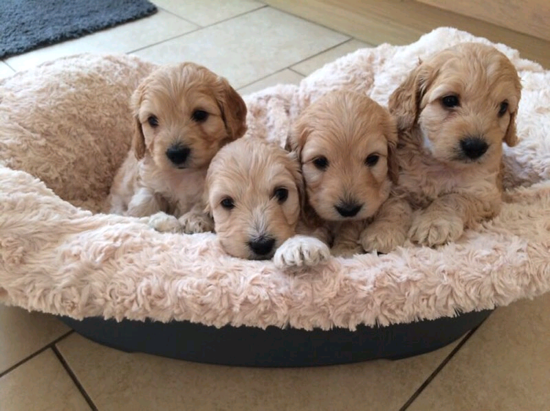 cockapoo puppy for sale | Wales UK