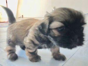 Chiot doré male shih tzu puppy gold black mask