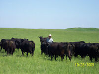 Cow Herd Dispersal - Black Angus & Polled Hereford
