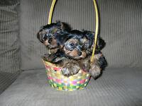 CKC Registered Yorkie puppies