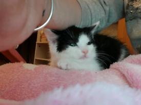 Kittens for sale. Female. White & black / black & white