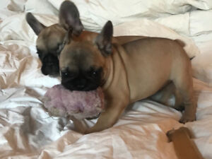 CKC Registered Black Mask Fawn Frenchies