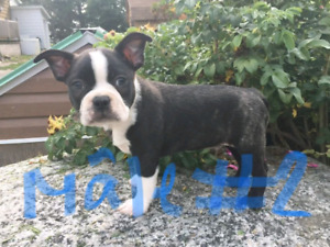 Chiots Boston terrier pure race