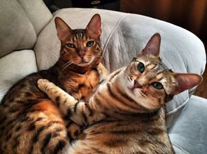 Bengal Cats for sale Kitchener / Waterloo Kitchener Area image 1