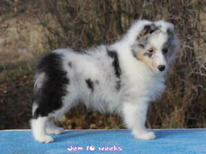 Sheltie Adopt Dogs Puppies Locally In Canada Kijiji Classifieds