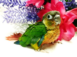 ★★★New Baby red Facteur Yellow-side Conure★★★