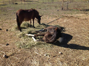 Mini Mule Foal/Broodmare Buddy