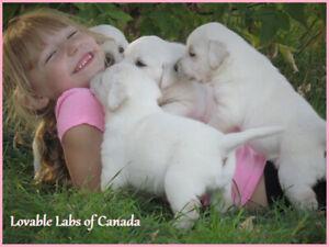 Beautiful CKC registered White English Lab Puppies
