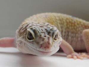 Leopard gecko (enclosure included)