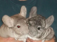 Bonded Pair of Chinchillas