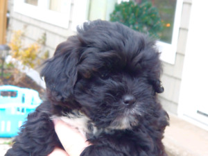Gorgeous Shihpoo puppies