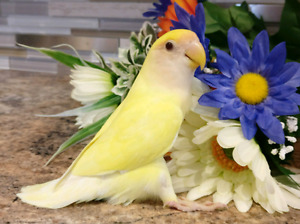 Beautiful Cremino Yellow Lovebird