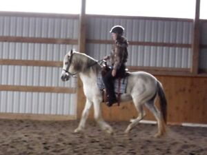 Purebred Peruvian Paso mare,  gaited, very well trained