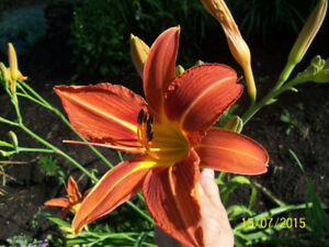 Must have a Showy Day lily in your flower bed!