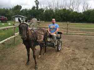 2 year old Pony, Harness and Easy Entry Cart