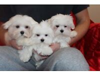 Beautiful MALTESE TERRIER Puppies 1 BOY LEFT