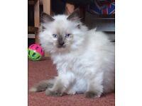Gorgeous Blue Eyed, Female Ragdoll Kittens