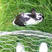 Two Indoor Bunny Rabbits to Good Home URGENT - Melbourne CBD Melbourne CBD Melbourne City Preview