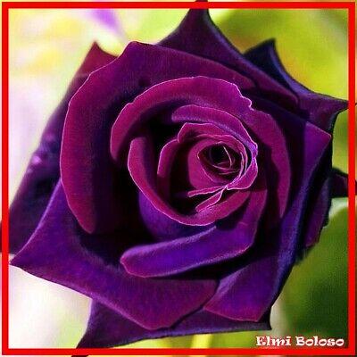 en tiefe Lila Blüten Winterfest 30 Stück (Lila Rosenblüten)