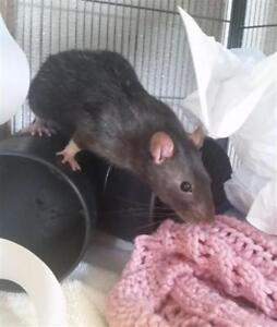 "Young Male Small & Furry - Rat: ""Pook With Dallas"""