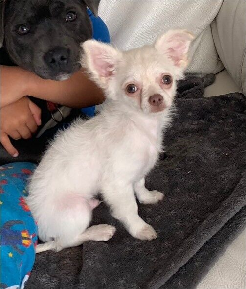 2 male chihuahua puppies | in Oldham, Manchester | Gumtree
