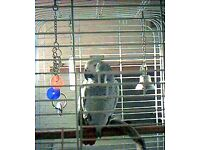 African grey free to good home